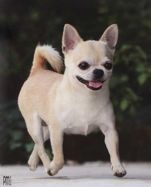 Cani Nani Da Appartamento: Cani di razza il cane bichon fris? petpassion.