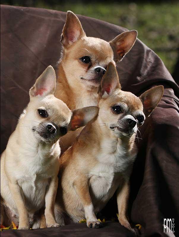 Il vero standard del chihuahua ti presento il cane for Jack russel pelo lungo