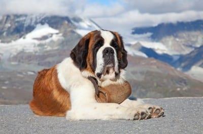 Il Vero Standard Del Cane Di San Bernardo Ti Presento Il Cane