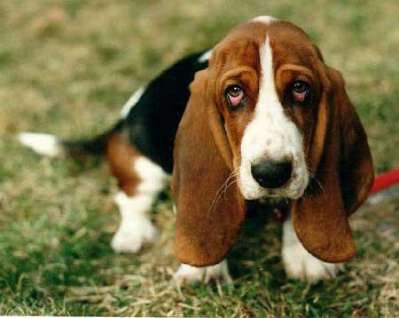 """il """"vero"""" standard del bethound - ti presento il cane"""