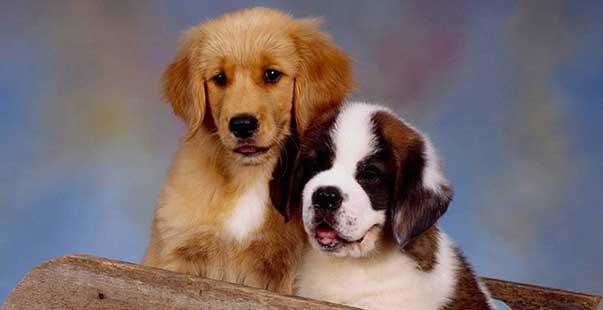 Da Genitori Di Razza Diversa Possono Nascere Cani Di Razza Pura Me