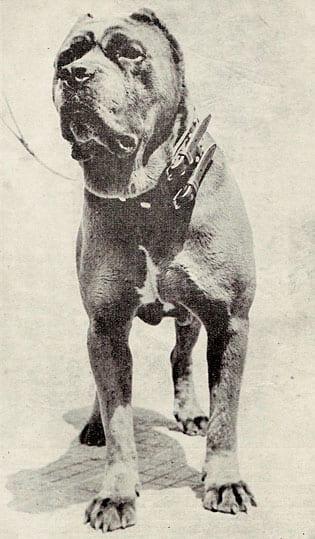 Guaglione, capostipite dell'allevamento di Villanova di Piero Scanziani