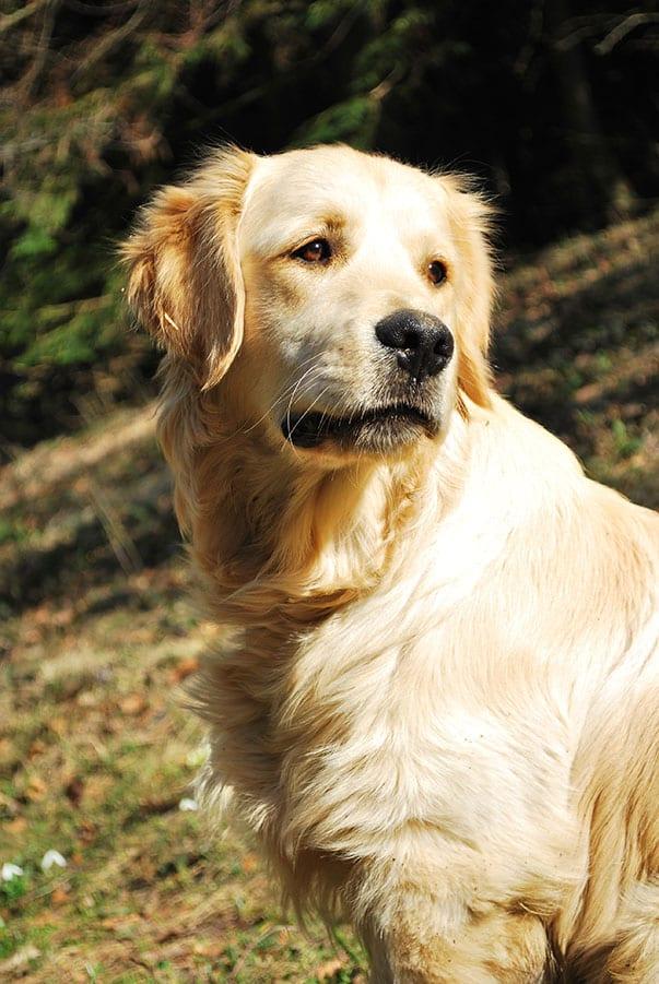 Il cane si difende e viene schedato come morsicatore for Antinfiammatorio cane