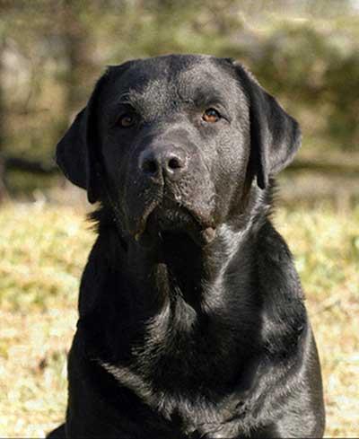 Oozingjoy delle Acque Lucenti, una delle più belle teste italiane (è arrivato quarto al Crufts), ma anche un eccellente cane da lavoro