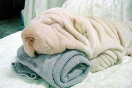 Il VERO Standard dello... Shar Pei - Ti presento il cane