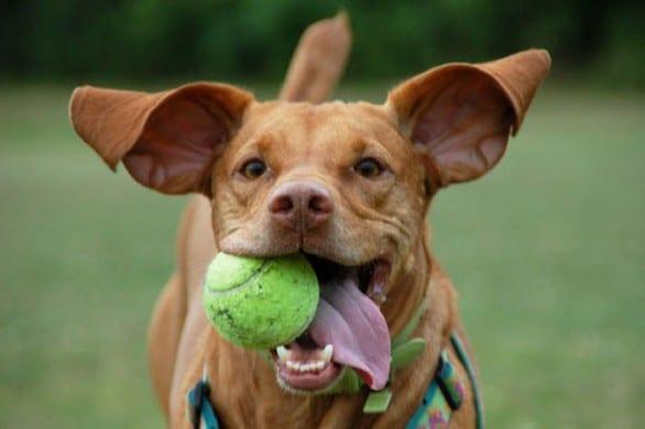 cane-e-palla