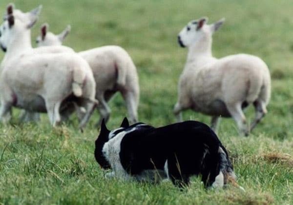 border_pecore