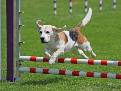 beagle_agility