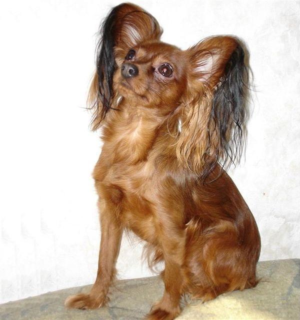 Ti presento il russian toy ti presento il cane for Cane barboncino toy