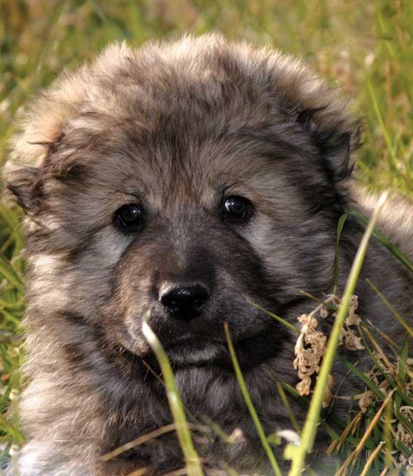 Ti Presento Il Cane Da Pastore Del Caucaso Ti Presento Il Cane