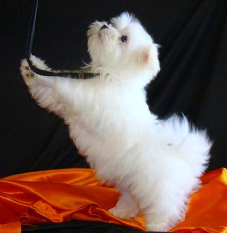 Ti Presento Il Maltese Ti Presento Il Cane