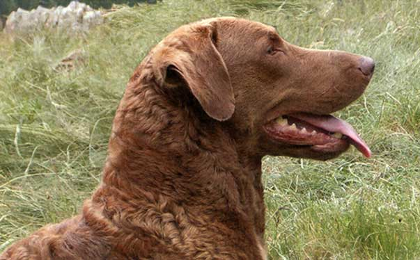 Cheasapeake Bay retriever, pelo semiriccio