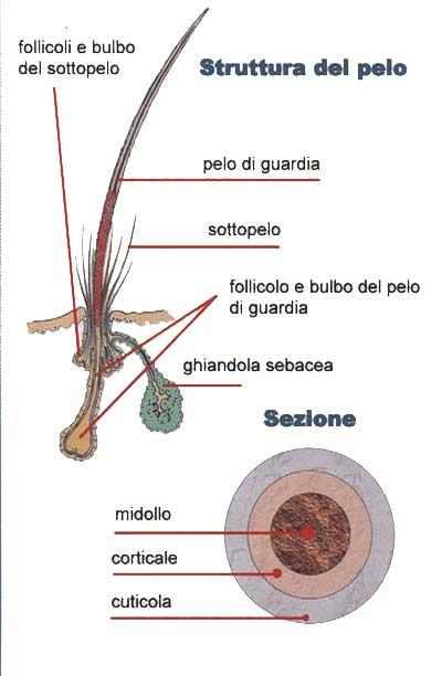struttura_pelo