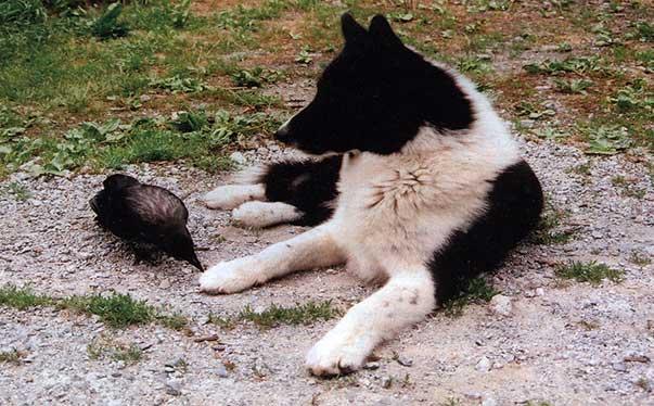 Pelo piumat...ah, no: quello è solo un amico in visita. Il Cane da orso della Carelia ha pelo semilungo