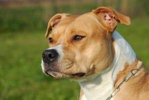 American Staffordshire terrier: pelo raso