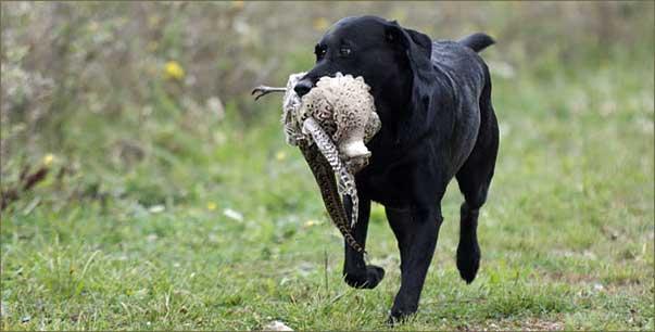 Ludito Dei Cani Da Caccia Viene Danneggiato Dagli Spari Lo
