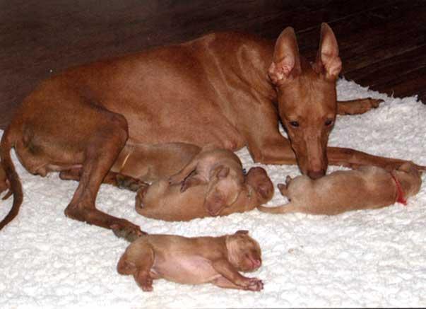 Mamma Hadranensis Deodora con i suoi cuccioli di 4 giorni