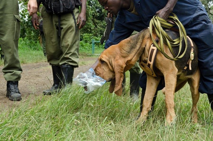 Il VERO Standard del Bloodhound Ti presento il cane