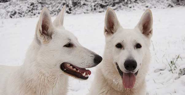 Ti Presento Il Pastore Svizzero Bianco Ti Presento Il Cane