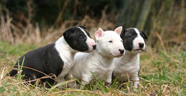 Il Vero Standard Del Bull Terrier Ti Presento Il Cane