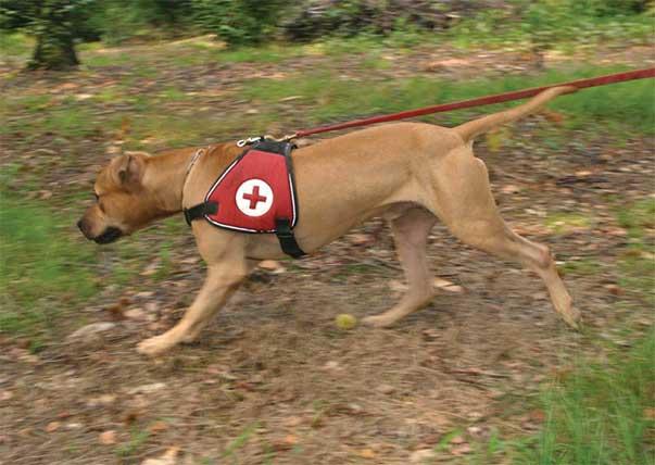 American pit bull terrier del Working pit bull Club, impegnato in protezione civile: il massimo tono muscolare è frutto SOLO di un'eccellente preparazione atletica.