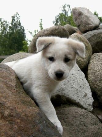 canaan_puppy