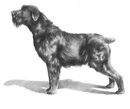 Ti presento il terrier nero russo tchorny terrier for Cane da pastore della russia meridionale