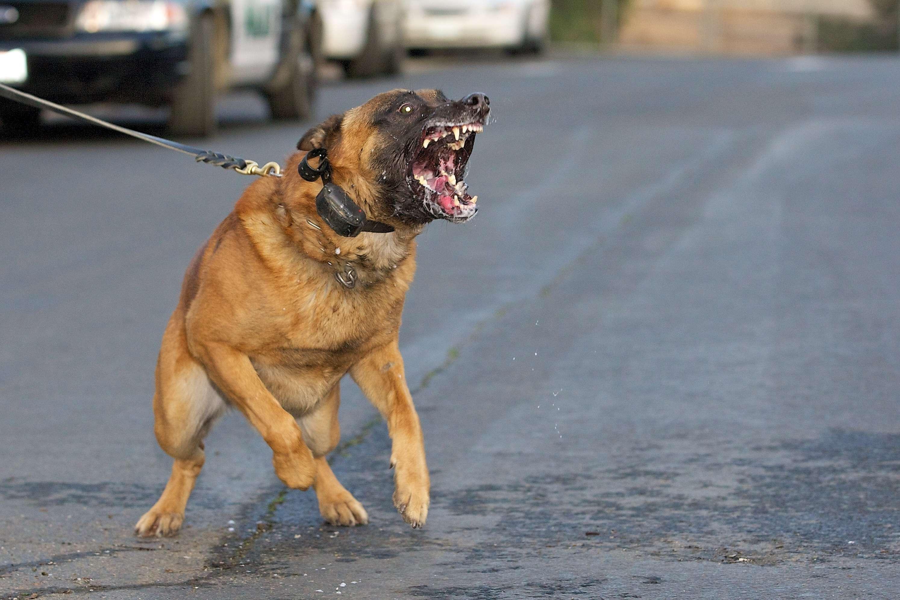 Belgian-Malinois-army-dogs