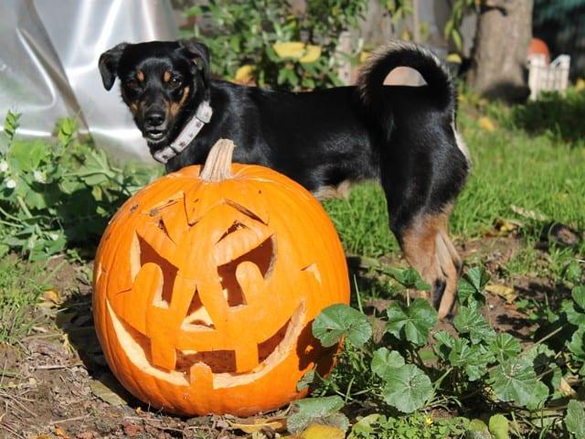 lulu and halloween pumpkin