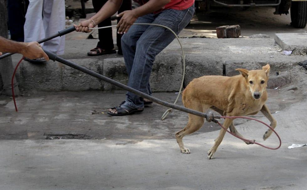India Stray Dogs