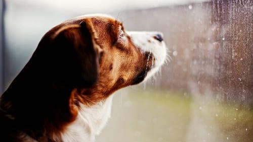 cane_pioggia