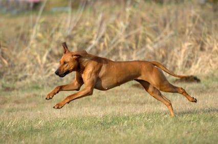 Rhodesian_Ridgeback_Running