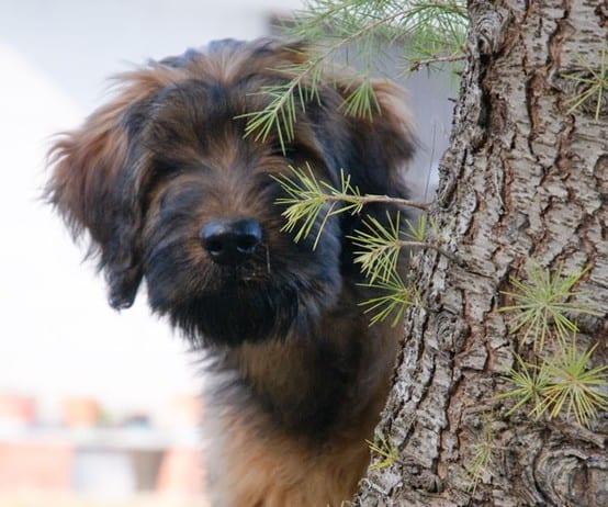 briard_puppy
