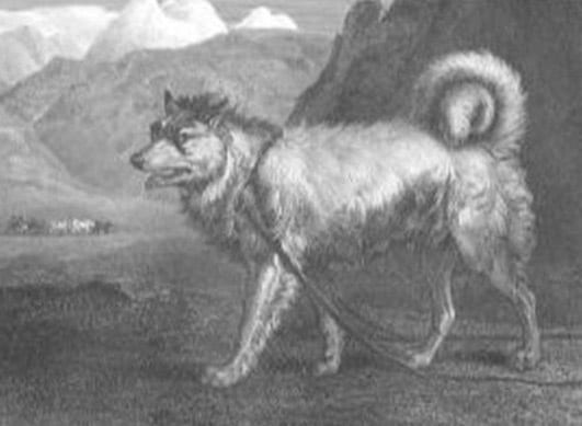 the-greenland-dog-by-philip-reinagle-in-1803-sportsman-s-cabinet-an-engraving-reproduction
