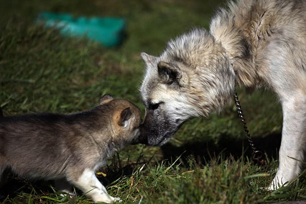 nice-greenland-dog-and-her-baby-wallpaper