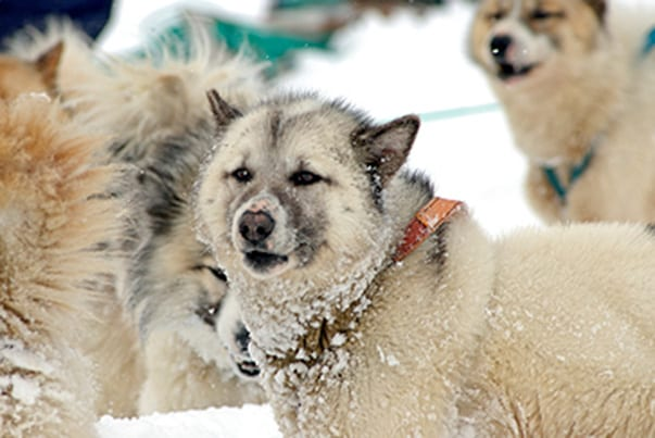 Greenland-dog-sledding