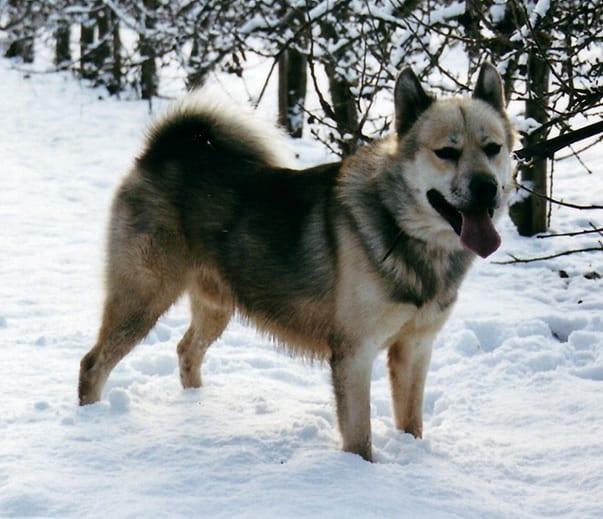 greenland-dog