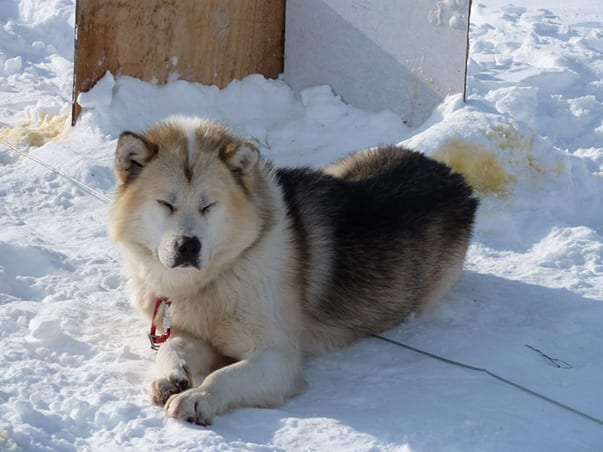 greenland_dogs_2