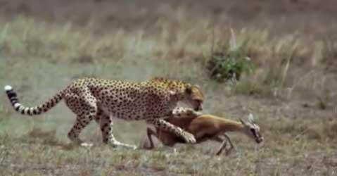 ghepardo_gazzella