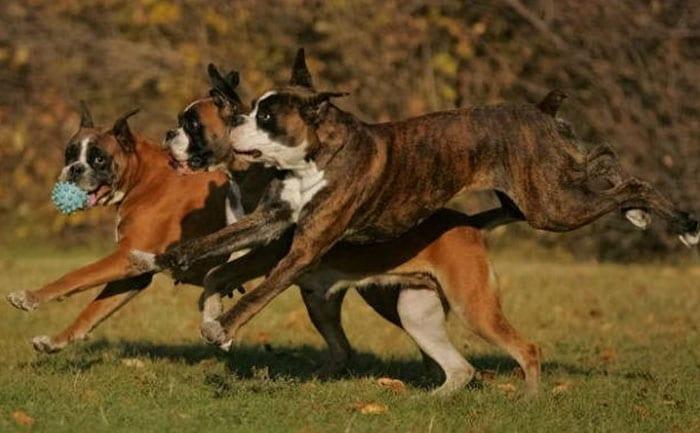 gioco_boxer4
