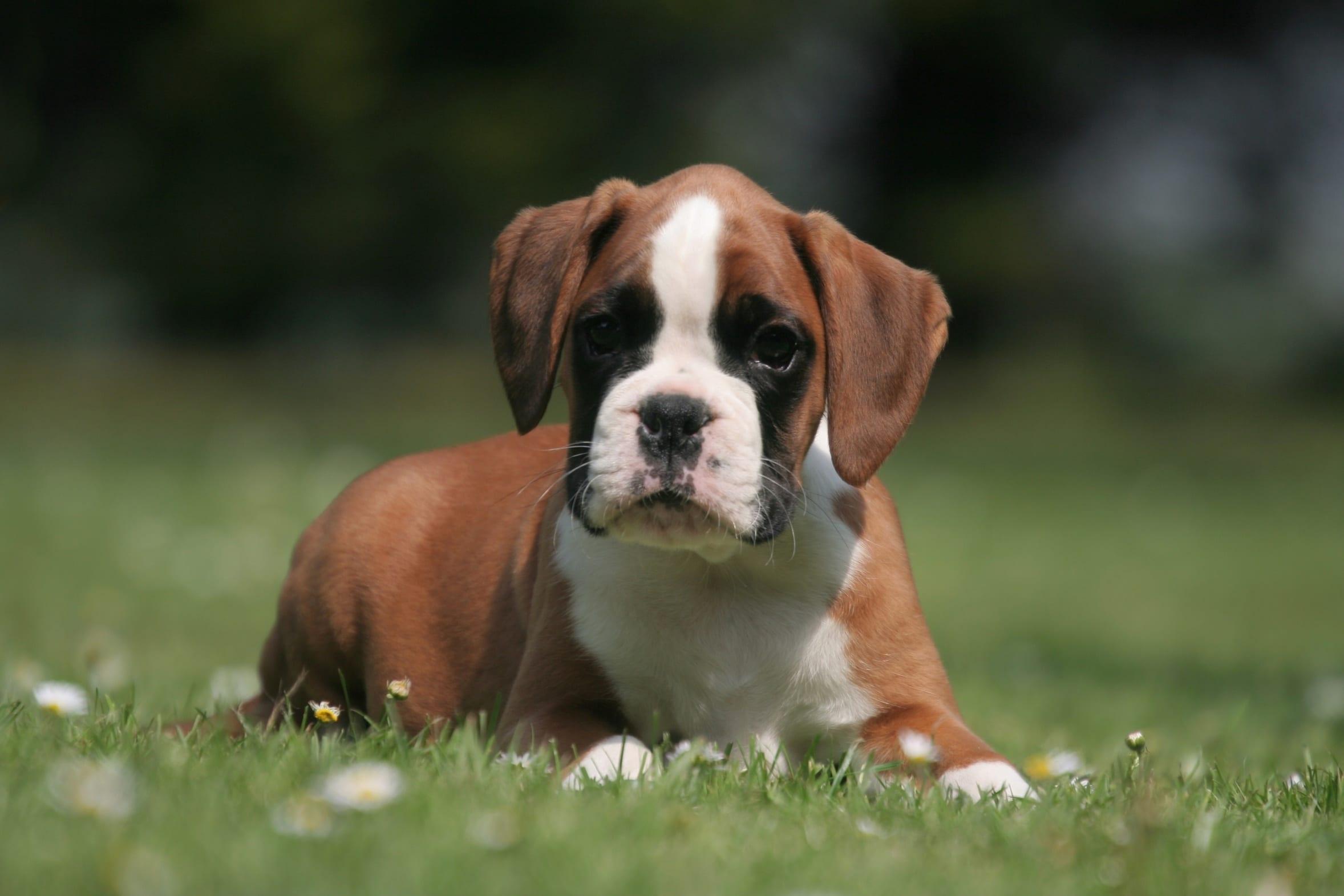 Mignon petit chiot Boxer sur la pelouse