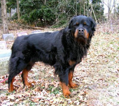 Rottweiler a pelo lungo