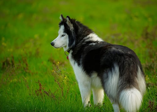 Siberian husky a pelo lungo