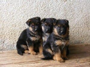 cuccioli-pastore-tedesco-300x225