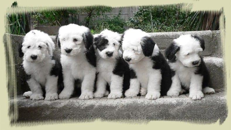 bobtail-cachorros-perros