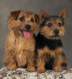 Norfolk-Norwich-Terriers-norwich-terrier-31667778-250-277