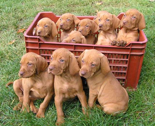 vizsla_puppies