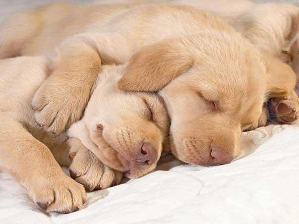 cuccioli-addormentati,-labrador-153222