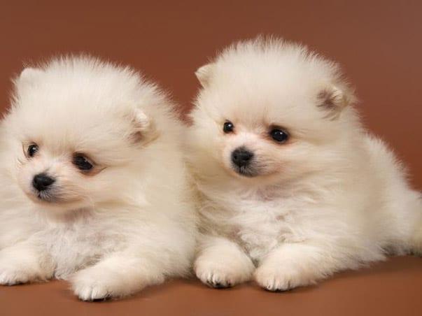 137232_37860_cerco-cuccioli-di-volpino-della-pomerania