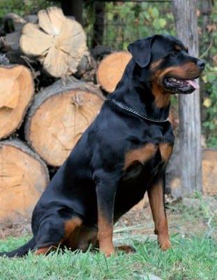 Rottweiler4